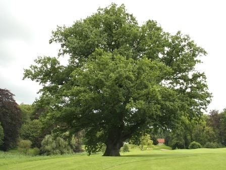 Quercus_robur_JPG_(d1)